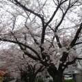 桜を見に行って来ました  ~春日市春町編~