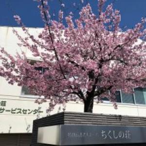 ちくしの荘桜満開
