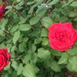 バラを観に粕屋町へ。