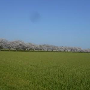 桜が満開♪皆様の笑顔も満開♪