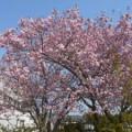 陽だまりの桜も満開です♪