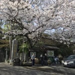 この日は小郡市のかえる寺へ桜見♪